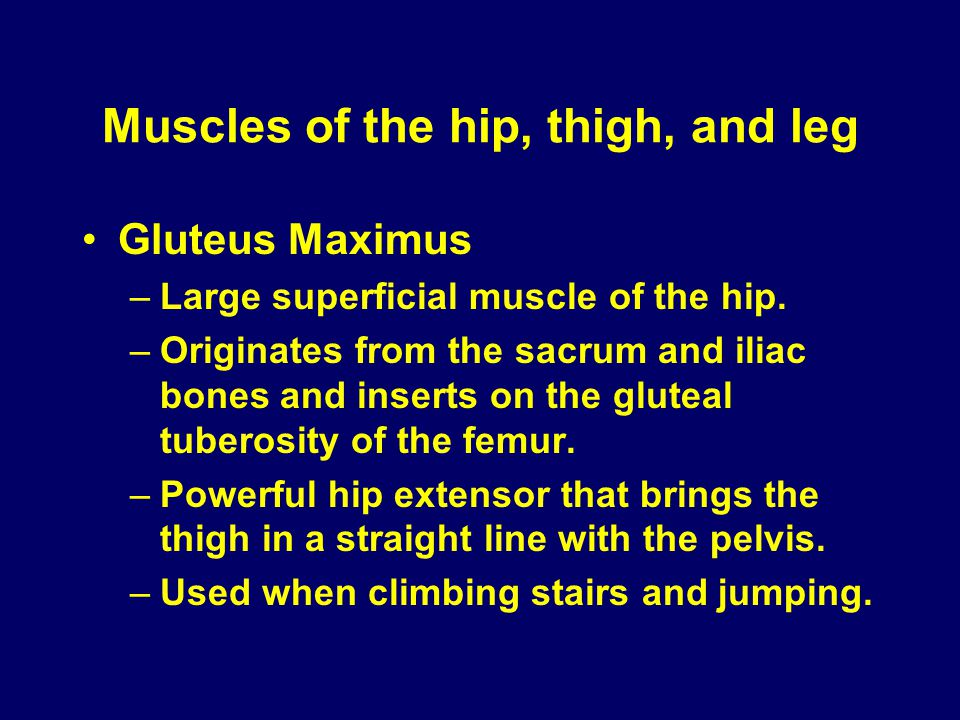Muscles of the hip, thigh, and leg Gluteus Maximus –Large superficial muscle of the hip. –Originates from the sacrum and iliac bones and inserts on th
