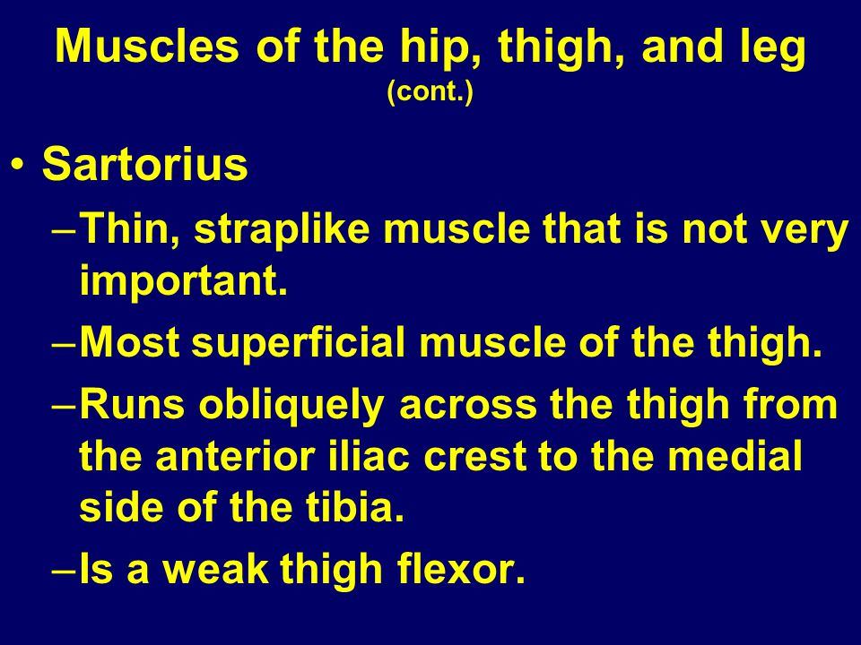 Muscles of the hip, thigh, and leg (cont.) Sartorius –Thin, straplike muscle that is not very important. –Most superficial muscle of the thigh. –Runs