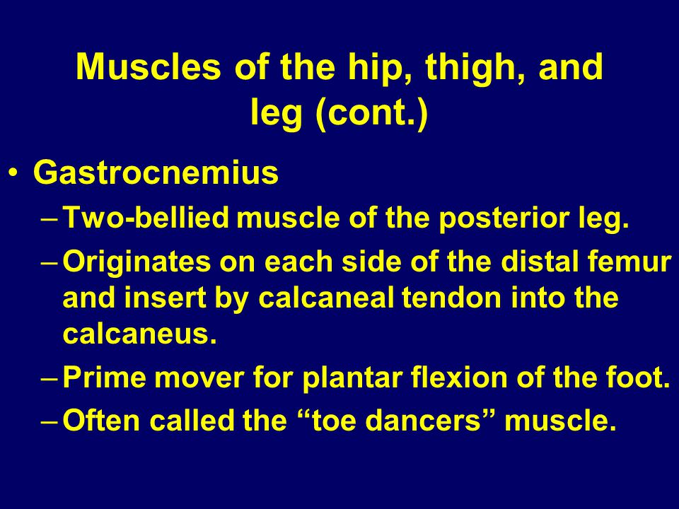 Muscles of the hip, thigh, and leg (cont.) Gastrocnemius –Two-bellied muscle of the posterior leg. –Originates on each side of the distal femur and in