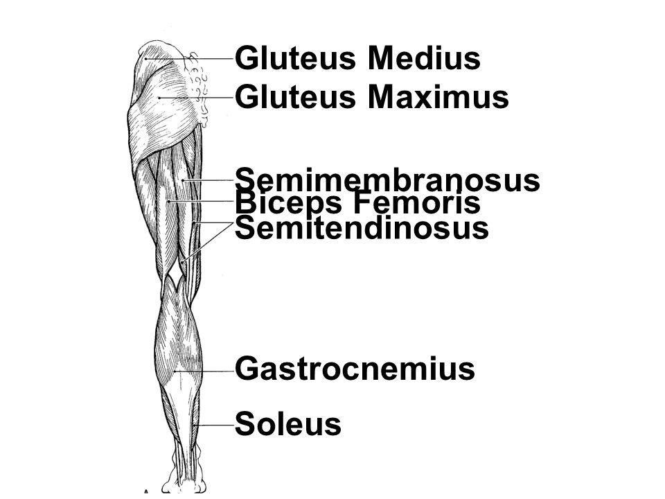 Gluteus Medius Gluteus Maximus Semitendinosus Biceps Femoris Semimembranosus Gastrocnemius Soleus