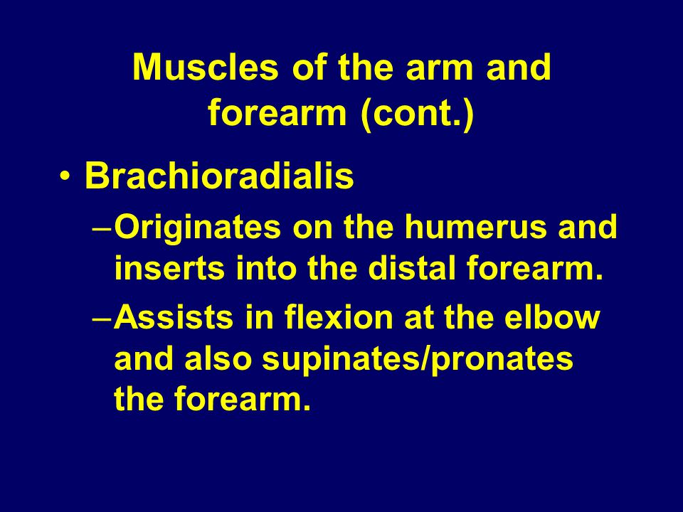 Muscles of the arm and forearm (cont.) Brachioradialis –Originates on the humerus and inserts into the distal forearm. –Assists in flexion at the elbo