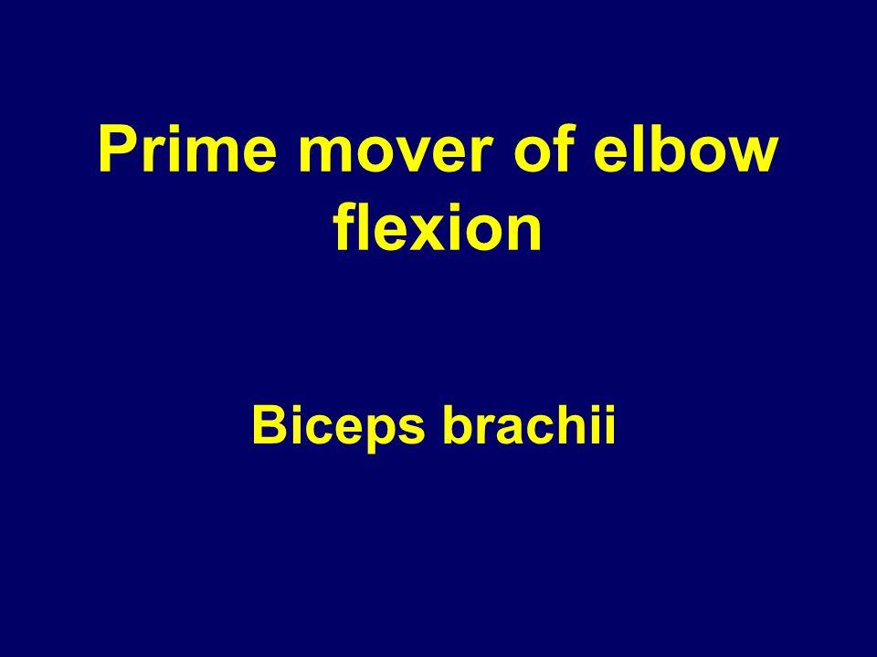 Prime mover of elbow flexion Biceps brachii