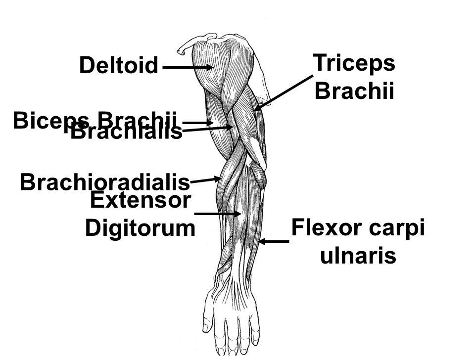Deltoid Triceps Brachii Biceps Brachii Brachialis Brachioradialis Extensor Digitorum Flexor carpi ulnaris