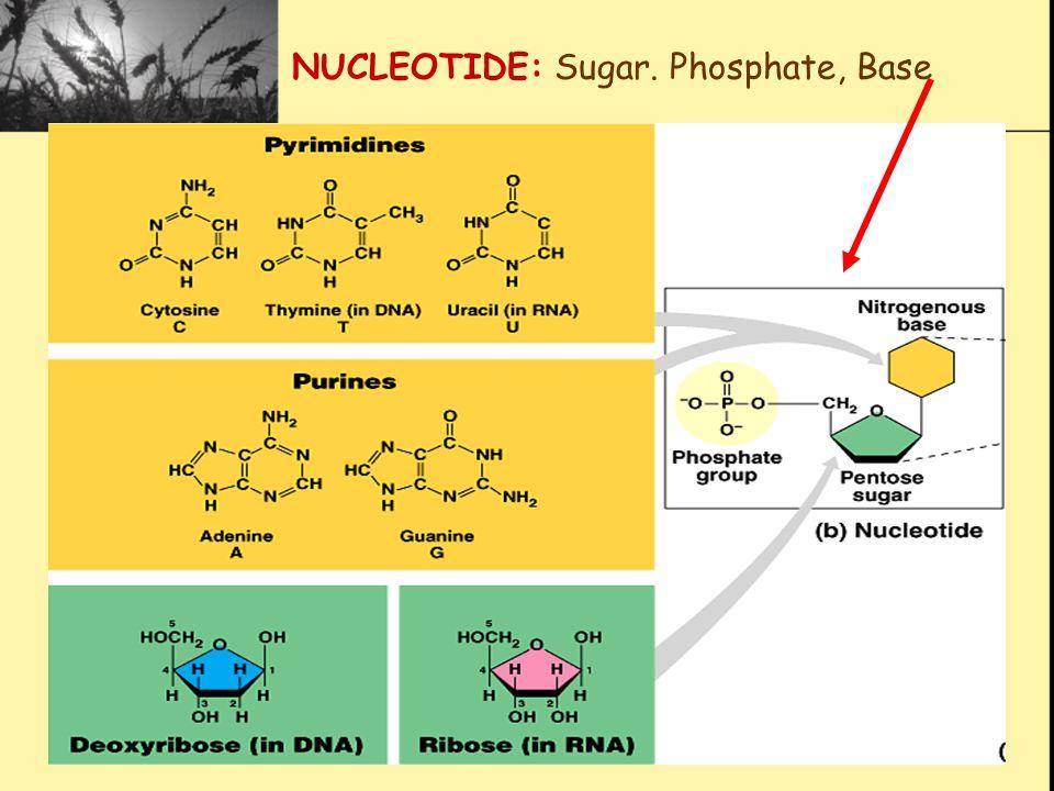 NUCLEOTIDE: Sugar. Phosphate, Base
