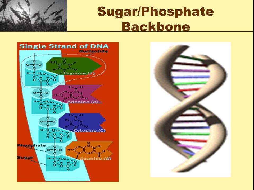 Sugar/Phosphate Backbone