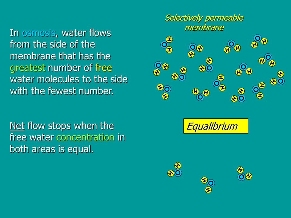 In osmosis, water flows from the side of the membrane that has the greatest number of free water molecules to the side with the fewest number.