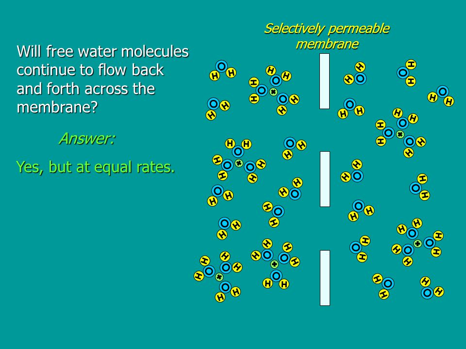Will free water molecules continue to flow back and forth across the membrane.
