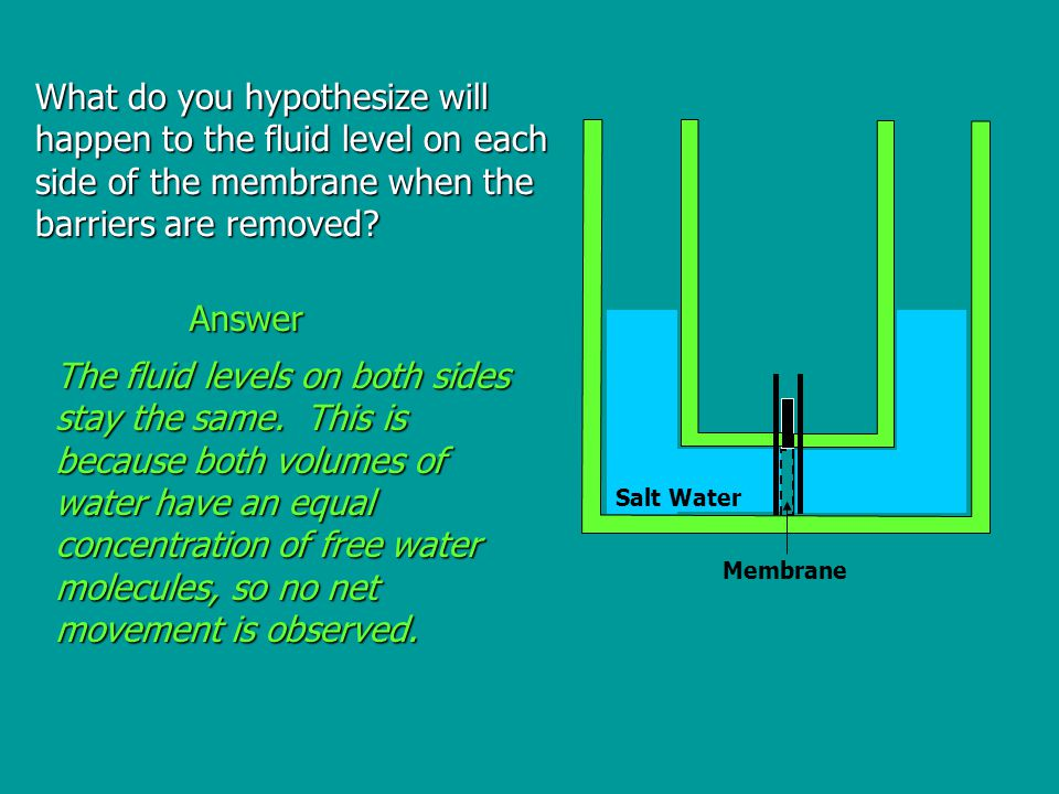 What do you hypothesize will happen to the fluid level on each side of the membrane when the barriers are removed.