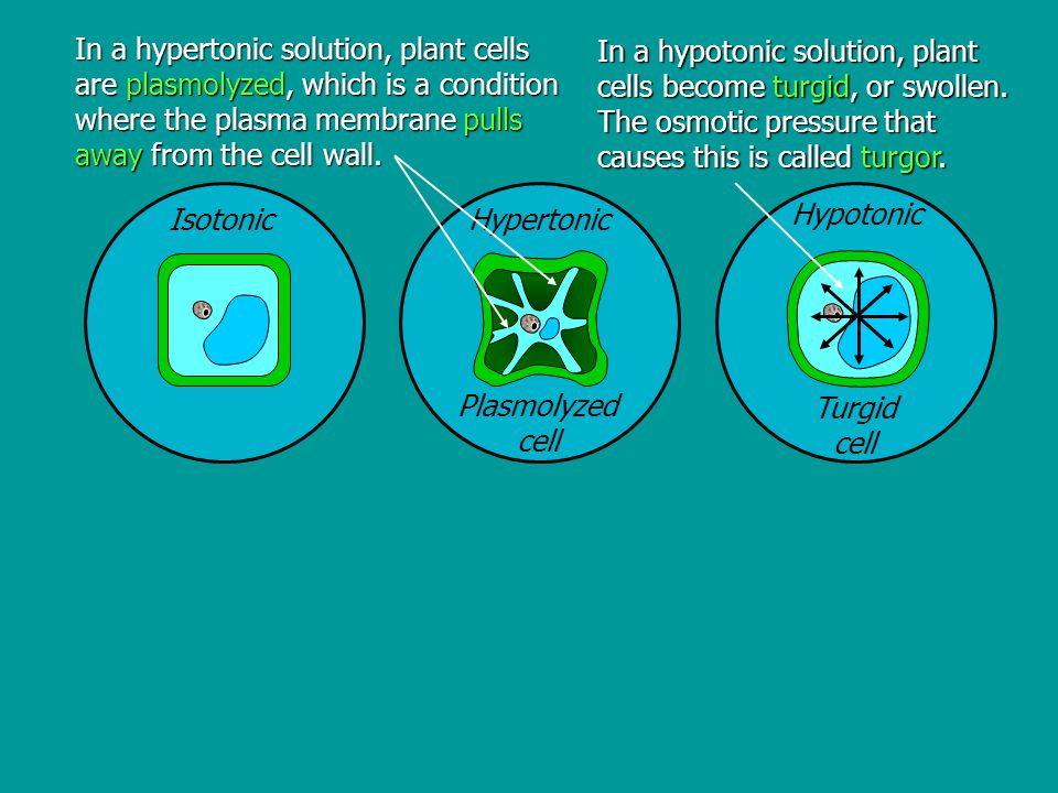 In a hypertonic solution, plant cells are plasmolyzed, which is a condition where the plasma membrane pulls away from the cell wall.