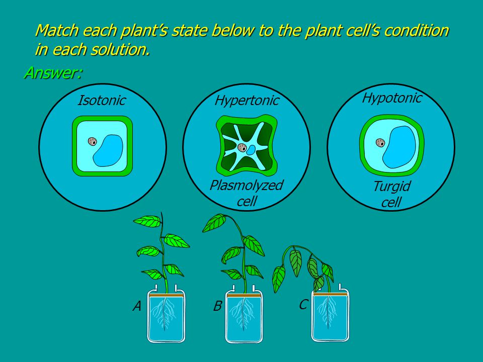 Isotonic Hypertonic Hypotonic A B C Plasmolyzed cell Turgid cell Match each plant's state below to the plant cell's condition in each solution.