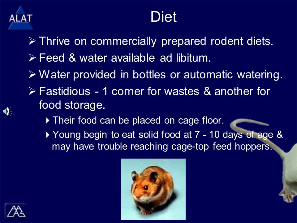Diet  Thrive on commercially prepared rodent diets.
