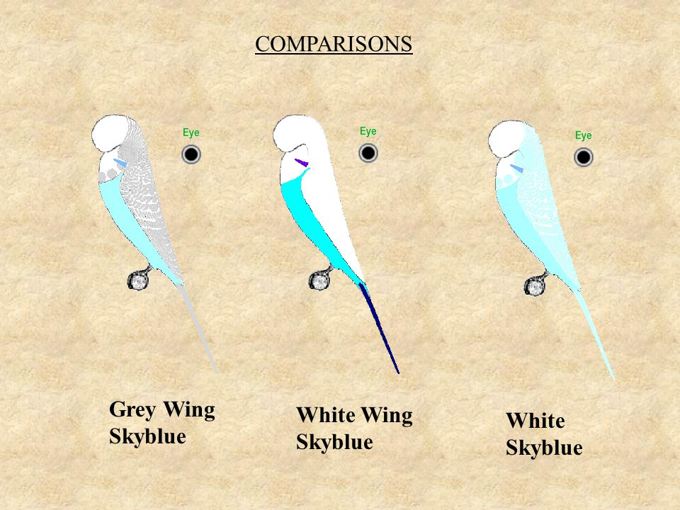 COMPARISONS Grey Wing Skyblue White Wing Skyblue White Skyblue