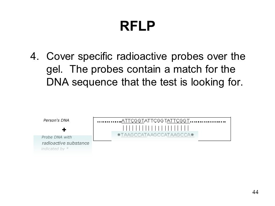 44 RFLP 4.Cover specific radioactive probes over the gel. The probes contain a match for the DNA sequence that the test is looking for.