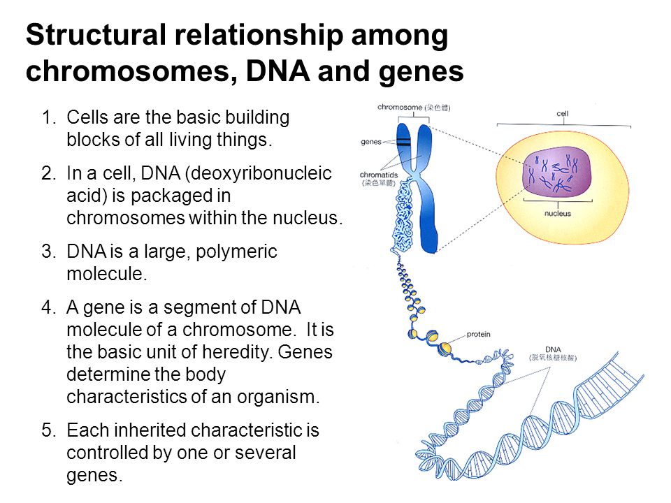 6 Structural relationship among chromosomes, DNA and genes 1.Cells are the basic building blocks of all living things. 2.In a cell, DNA (deoxyribonucl