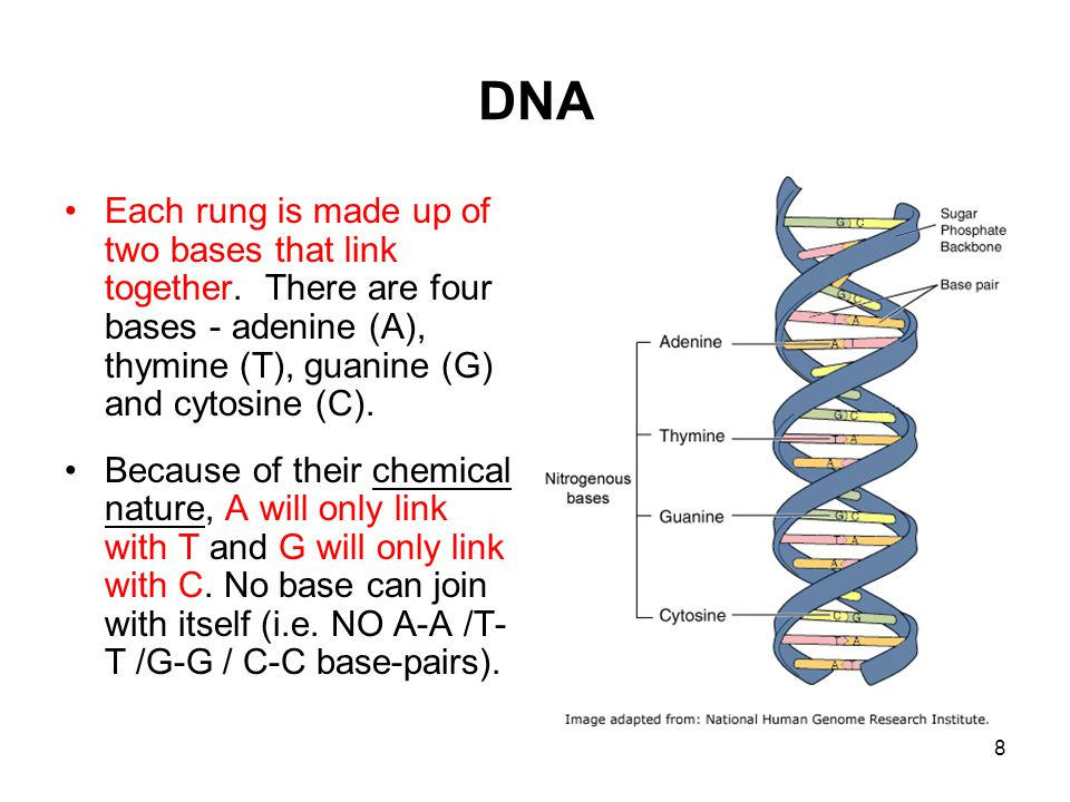 8 DNA Each rung is made up of two bases that link together. There are four bases - adenine (A), thymine (T), guanine (G) and cytosine (C). Because of
