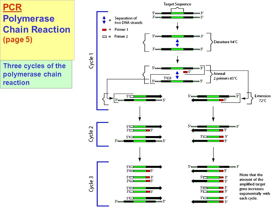 PCR Polymerase Chain Reaction (page 5) Three cycles of the polymerase chain reaction