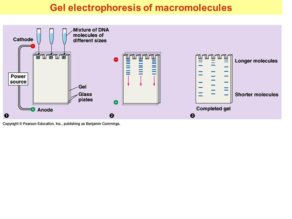 Gel electrophoresis of macromolecules