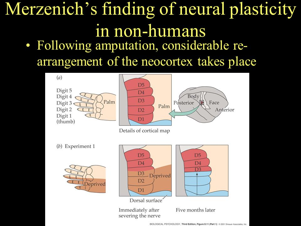 Merzenich's finding of neural plasticity in non-humans Following amputation, considerable re- arrangement of the neocortex takes place