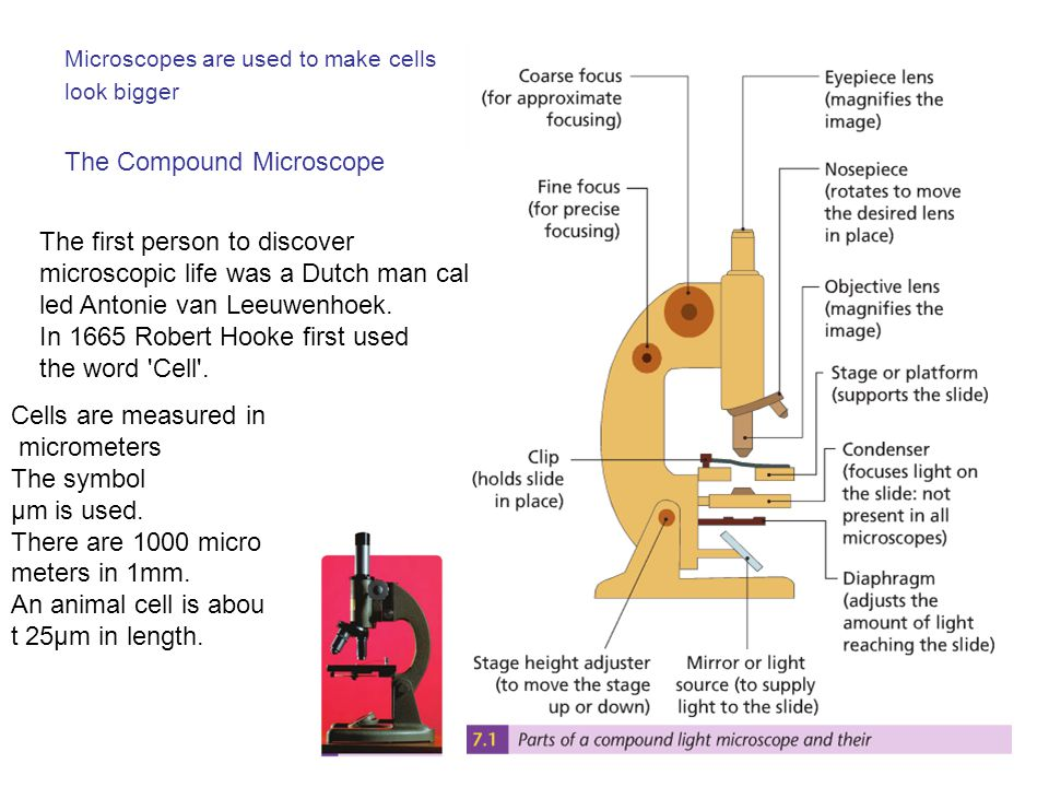 Microscopes A compound microscope has two lenses: an eye piece lens and an objective lens Total magnification = eye piece lens X objective lens e.g.