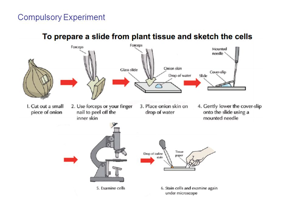 Experiment Results Note: If iodine stain is not used it is very difficult to see the onion cells clearly.