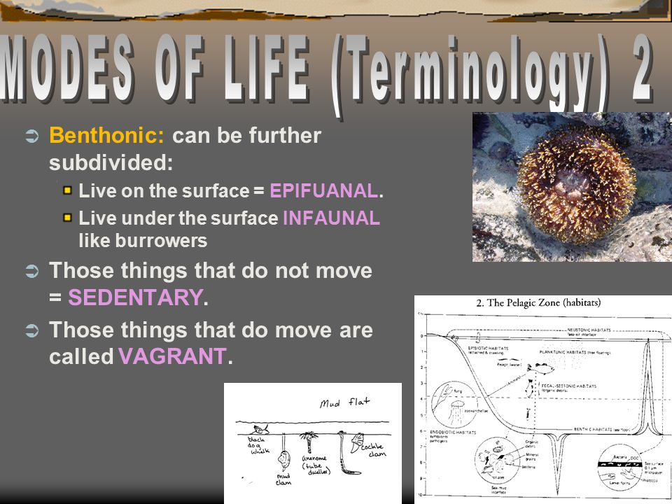  Benthonic: can be further subdivided: Live on the surface = EPIFUANAL. Live under the surface INFAUNAL like burrowers  Those things that do not mov