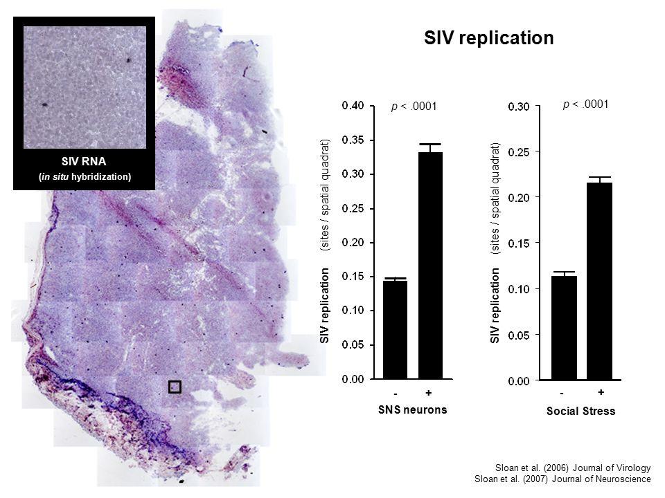 SIV RNA (in situ hybridization) SIV replication Social Stress - + SIV replication (sites / spatial quadrat) p <.0001 SNS neurons - + SIV replication (sites / spatial quadrat) p <.0001 Sloan et al.