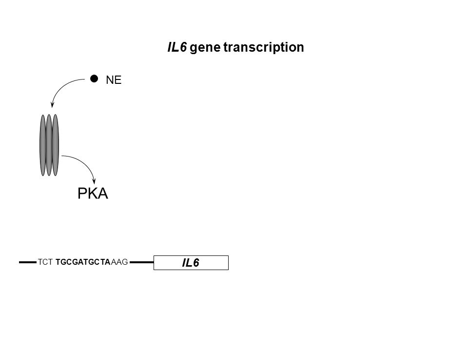 IL6 TCT TGCGATGCTA AAG IL6 gene transcription NE PKA