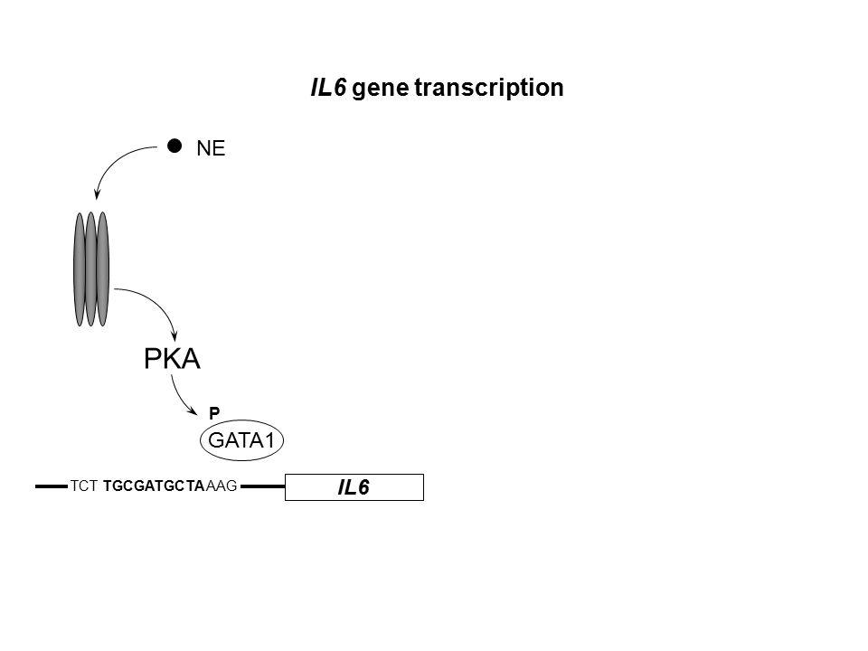 IL6 TCT TGCGATGCTA AAG IL6 gene transcription NE GATA1 P PKA