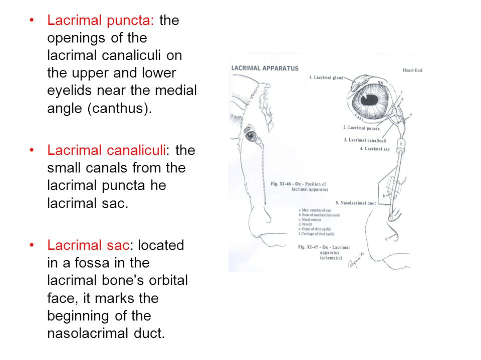 Nasolacrimal duct: –the duct extending from the lacrimal sac to the rostral part of the nasal cavity, first traveling in a bony canal in the lacrimal and maxillary bones and then deep to the nasal mucosa before opening into the rostral nasal cavity