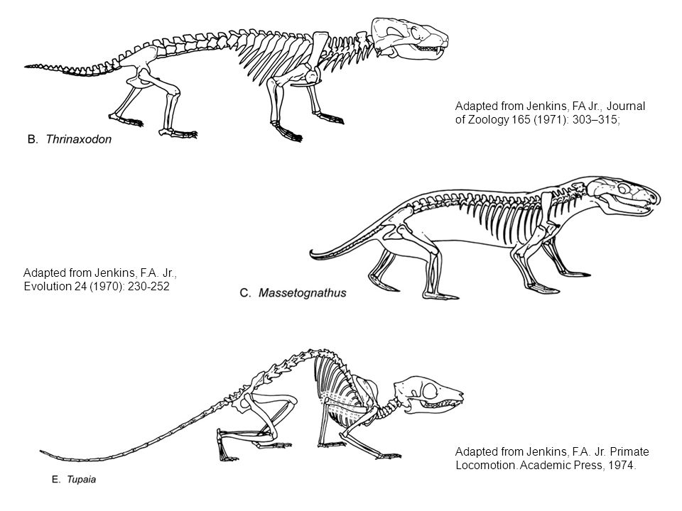 Adapted from Jenkins, F.A. Jr. Primate Locomotion. Academic Press, 1974. Adapted from Jenkins, F.A. Jr., Evolution 24 (1970): 230-252 Adapted from Jen