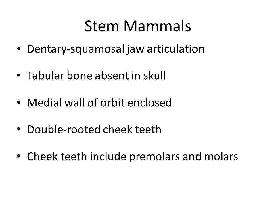 Stem Mammals Dentary-squamosal jaw articulation Tabular bone absent in skull Medial wall of orbit enclosed Double-rooted cheek teeth Cheek teeth inclu