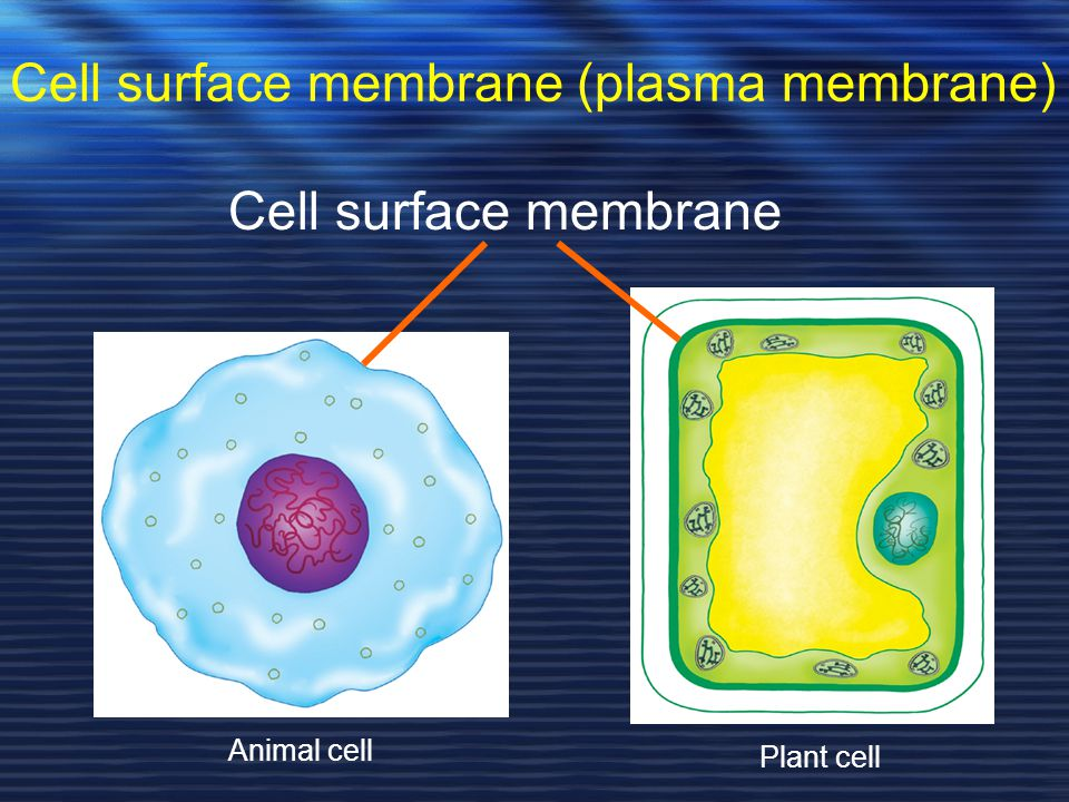 Cell surface membrane (plasma membrane) Cell surface membrane Animal cell Plant cell