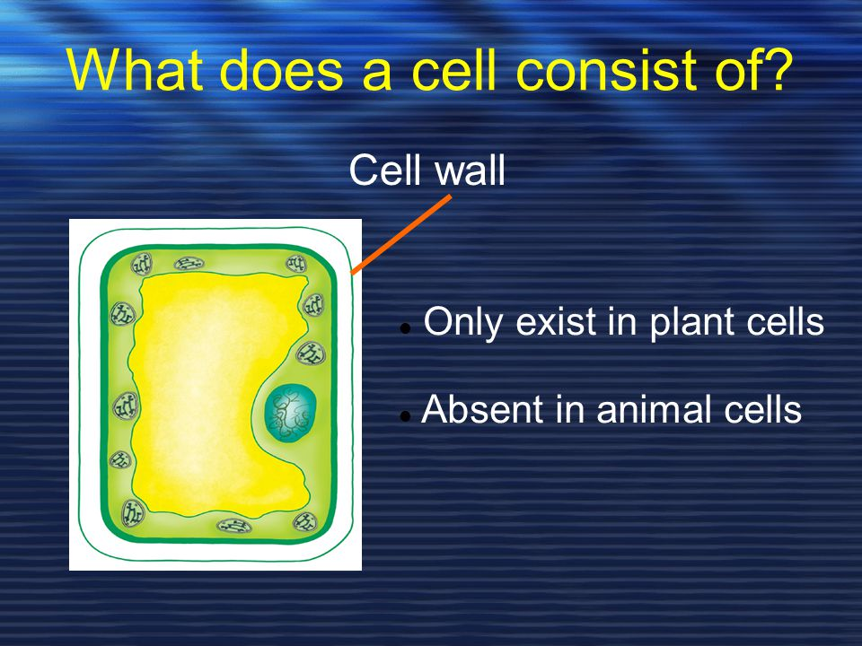 What does a cell consist of? Cell wall Only exist in plant cells Absent in animal cells
