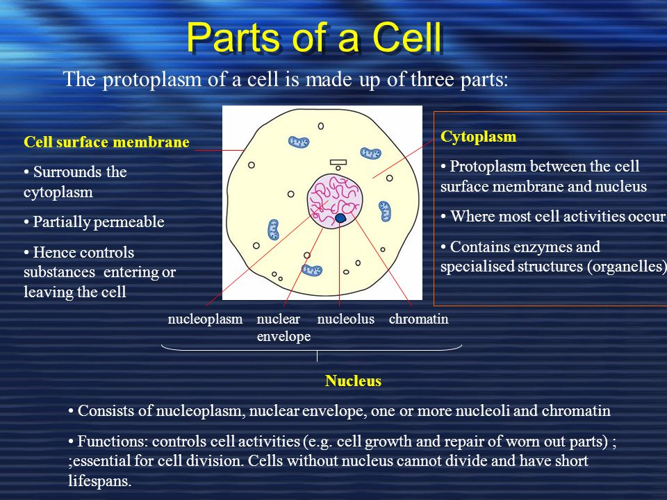 Parts of a Cell The protoplasm of a cell is made up of three parts: Cell surface membrane Surrounds the cytoplasm Partially permeable Hence controls s