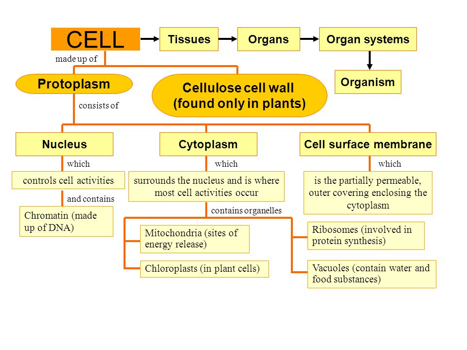 controls cell activities Protoplasm Cell surface membrane Tissues CELL Organs Cellulose cell wall (found only in plants) made up of consists of which