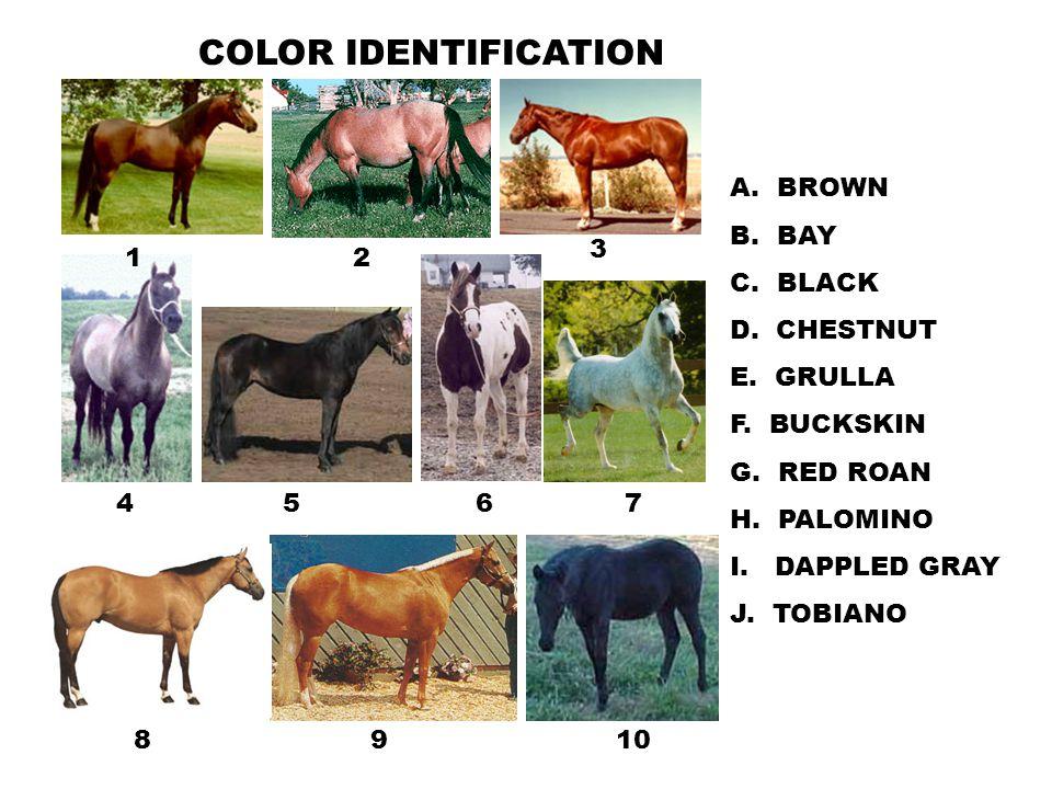 12 3 4567 89 COLOR IDENTIFICATION A. BROWN B. BAY C. BLACK D. CHESTNUT E. GRULLA F. BUCKSKIN G. RED ROAN H. PALOMINO I. DAPPLED GRAY J. TOBIANO