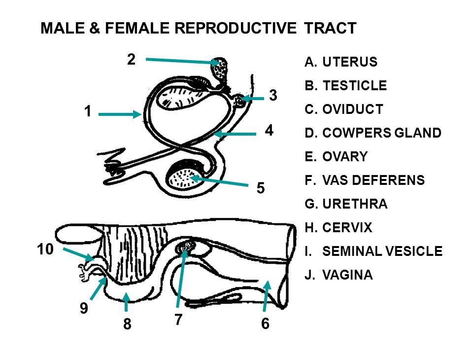 MALE & FEMALE REPRODUCTIVE TRACT A.UTERUS B.TESTICLE C.OVIDUCT D.COWPERS GLAND E.OVARY F.VAS DEFERENS G.URETHRA H.CERVIX I.SEMINAL VESICLE J.VAGINA 1