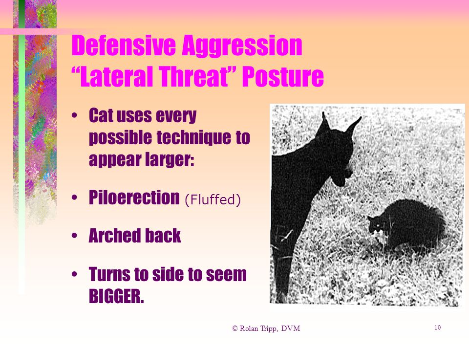 "© Rolan Tripp, DVM 10 Defensive Aggression ""Lateral Threat"" Posture Cat uses every possible technique to appear larger: Piloerection (Fluffed) Arched"