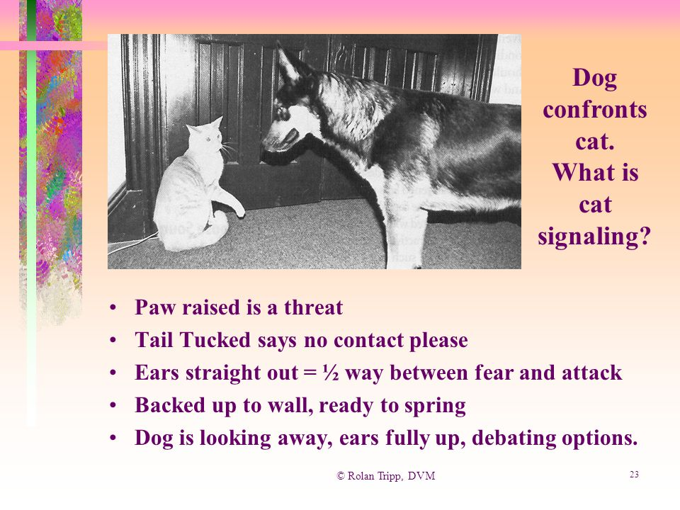 © Rolan Tripp, DVM 23 Paw raised is a threat Tail Tucked says no contact please Ears straight out = ½ way between fear and attack Backed up to wall, r