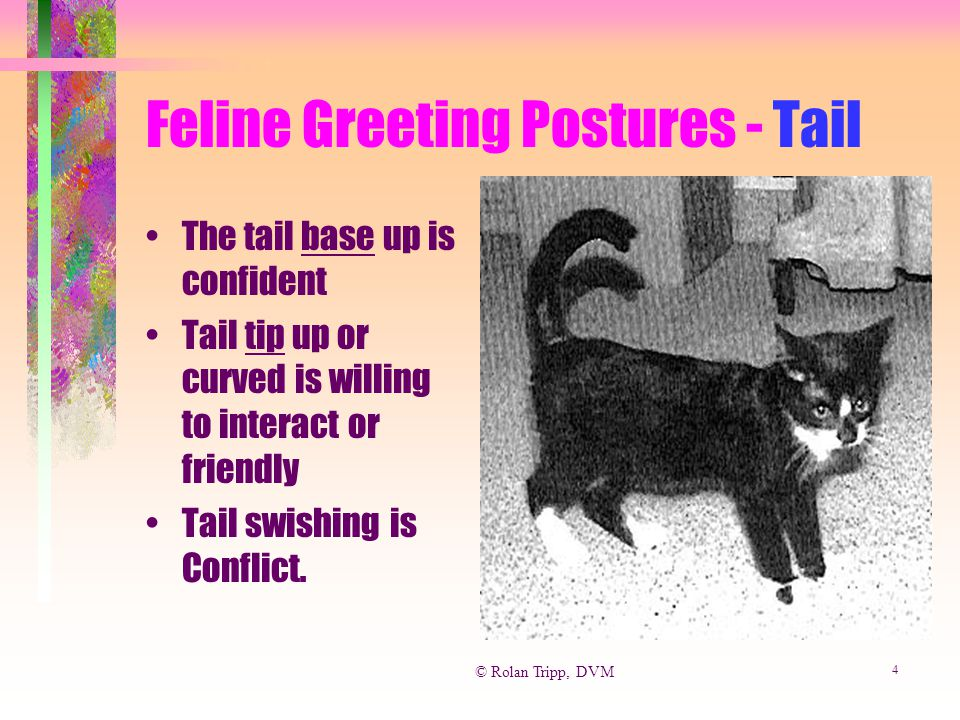 © Rolan Tripp, DVM 4 Feline Greeting Postures - Tail The tail base up is confident Tail tip up or curved is willing to interact or friendly Tail swish