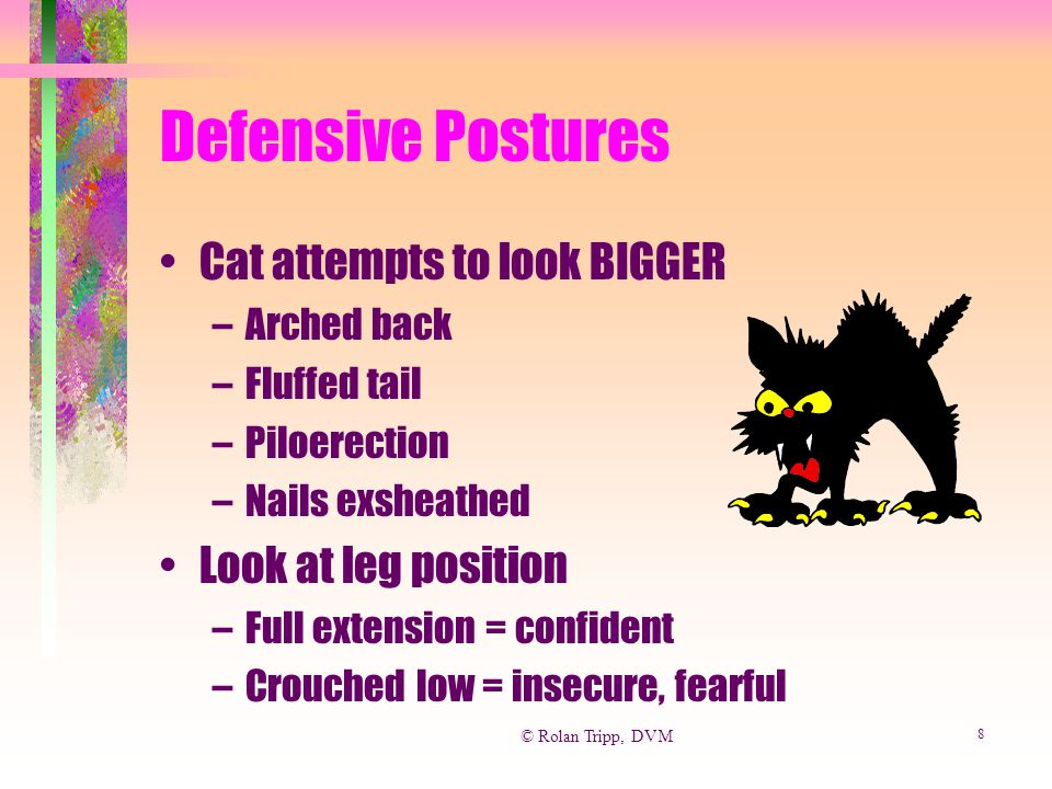 © Rolan Tripp, DVM 8 Defensive Postures Cat attempts to look BIGGER –Arched back –Fluffed tail –Piloerection –Nails exsheathed Look at leg position –F