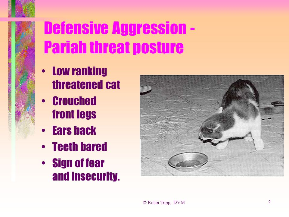 © Rolan Tripp, DVM 10 Defensive Aggression Lateral Threat Posture Cat uses every possible technique to appear larger: Piloerection (Fluffed) Arched back Turns to side to seem BIGGER.
