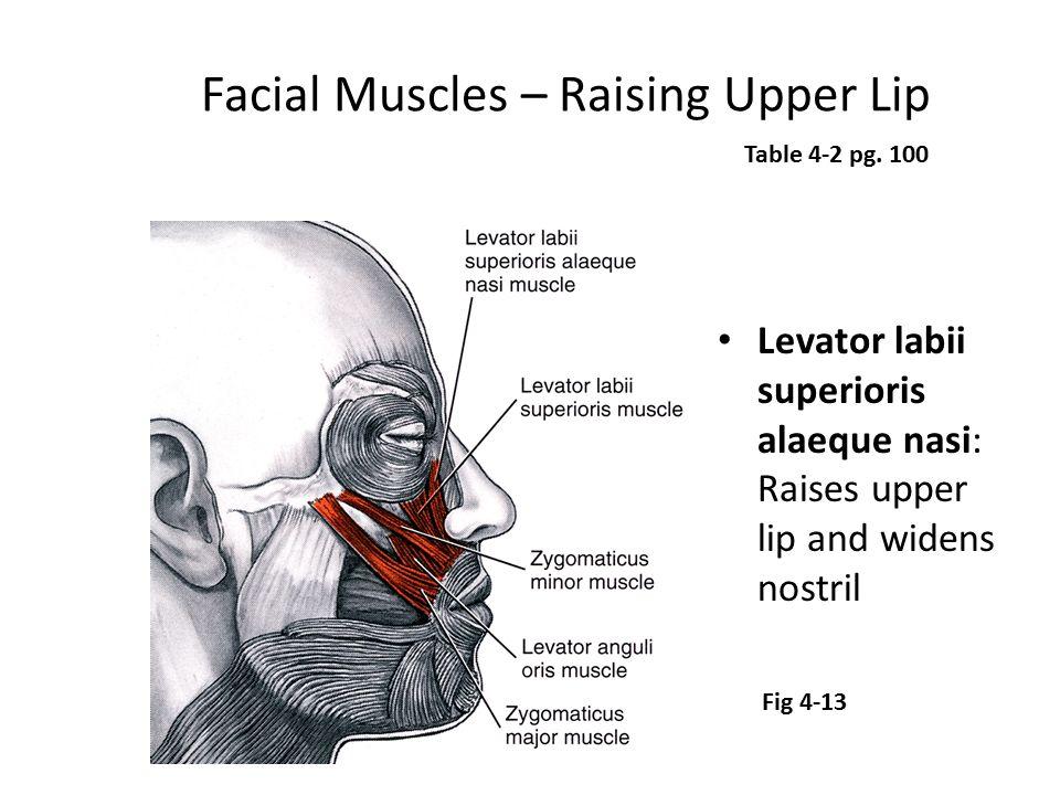 Facial Muscles – Raising Upper Lip Levator labii superioris alaeque nasi: Raises upper lip and widens nostril Table 4-2 pg. 100 Fig 4-13