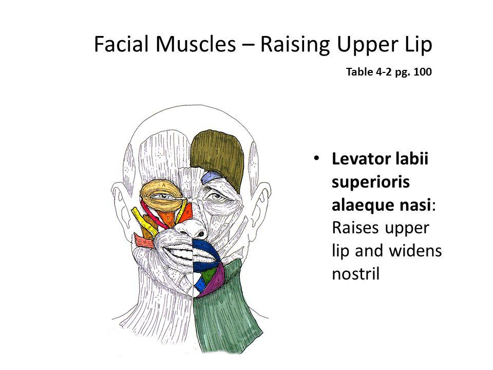 Facial Muscles – Raising Upper Lip Levator labii superioris alaeque nasi: Raises upper lip and widens nostril Table 4-2 pg. 100
