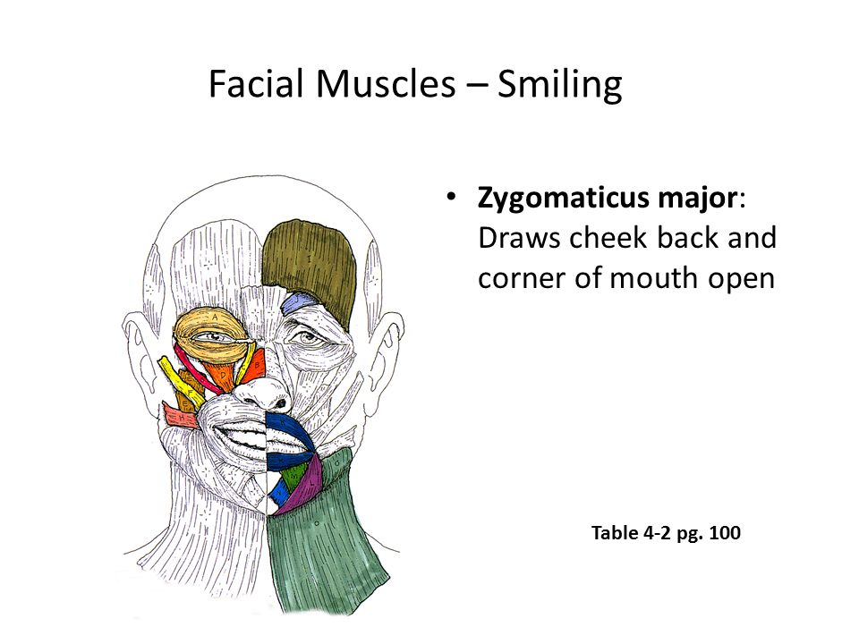 Facial Muscles – Smiling Zygomaticus major: Draws cheek back and corner of mouth open Table 4-2 pg. 100