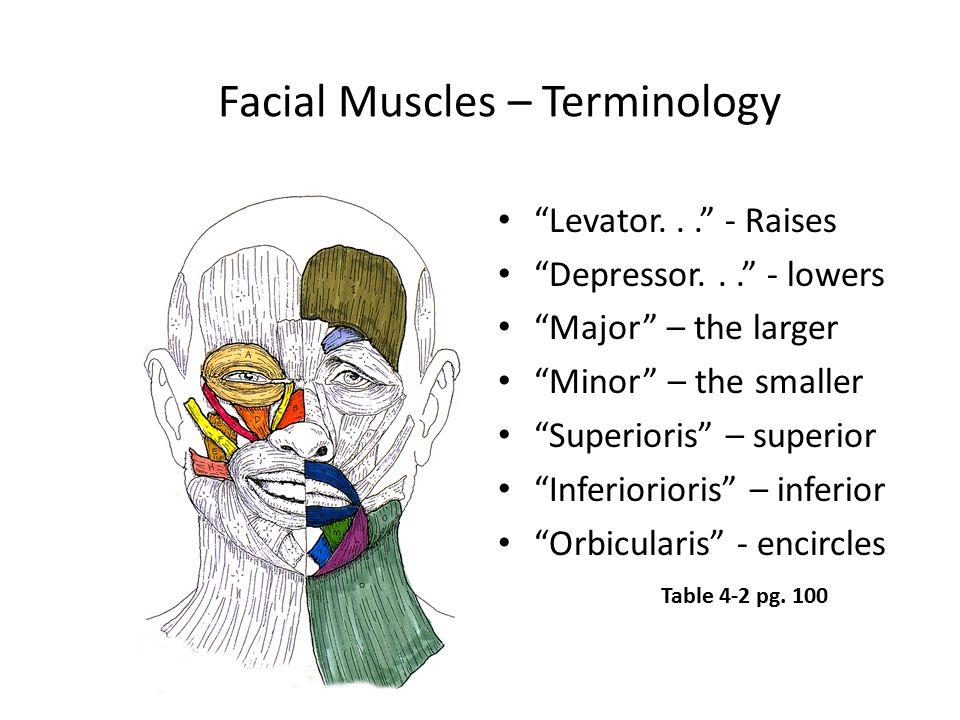 "Facial Muscles – Terminology ""Levator..."" - Raises ""Depressor..."" - lowers ""Major"" – the larger ""Minor"" – the smaller ""Superioris"" – superior ""Inferio"