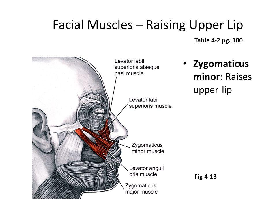Facial Muscles – Raising Upper Lip Zygomaticus minor: Raises upper lip Table 4-2 pg. 100 Fig 4-13
