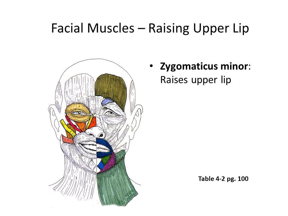 Facial Muscles – Raising Upper Lip Zygomaticus minor: Raises upper lip Table 4-2 pg. 100