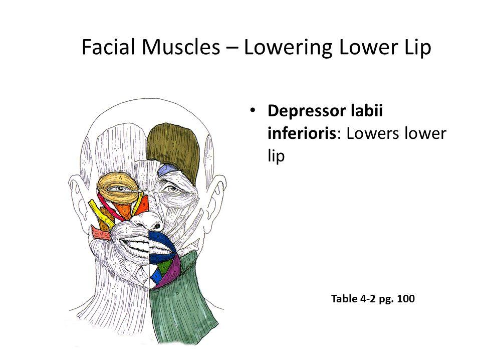 Facial Muscles – Lowering Lower Lip Depressor labii inferioris: Lowers lower lip Table 4-2 pg. 100