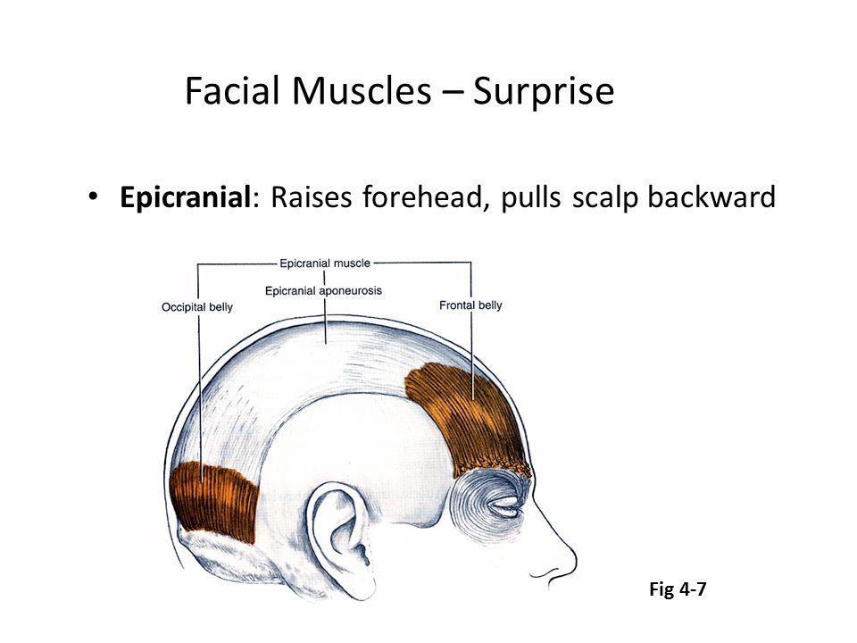 Facial Muscles – Surprise Epicranial: Raises forehead, pulls scalp backward Fig 4-7